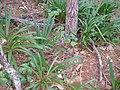 Agapanthus praecox orientalis Willd. (AM AK311991-2).jpg