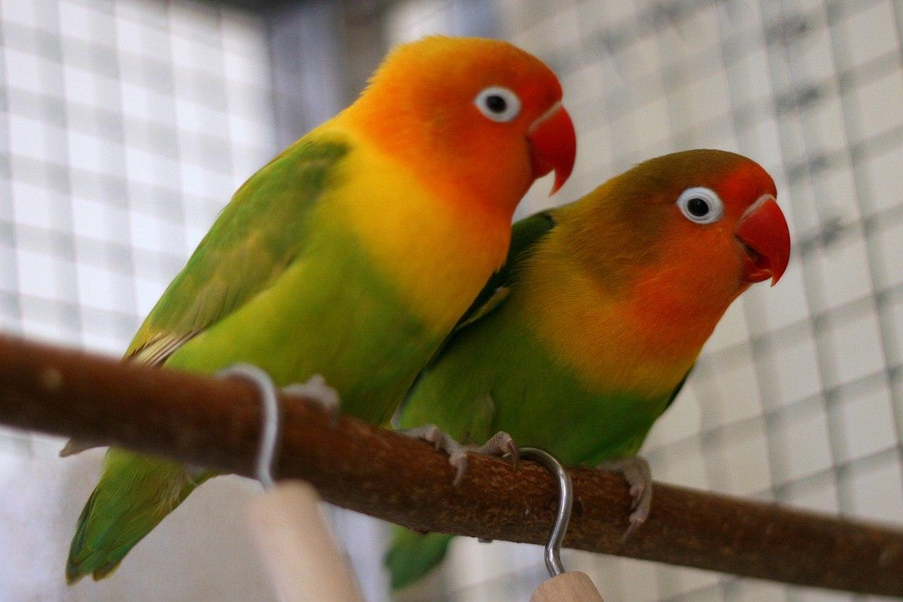 papużki nierozłączki monogamia, poligamia, poliandria, poligynia