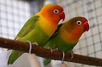 Agapornis fischeri couple