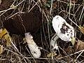 Agaricus sp.4.jpg