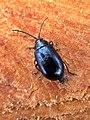 Agelastica alni (Chrysomelidae) (Alder Leaf Beetle) - (imago), Elst (Gld), the Netherlands.jpg