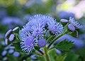 Ageratum houstonianum blue.jpg