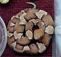 Agkistrodon contortrix laticinctus2.jpg