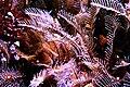 Aglaophenia pluma.jpg