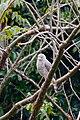 Aguililla Caminera, Roadside Hawk, Buteo magnirostris (11914761605).jpg