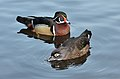 Aix sponsa (Wood Duck - Brautente) - Weltvogelpark Walsrode 2012-09.jpg