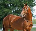 Akhal Teke Stallion -Gerald (2835598637).jpg