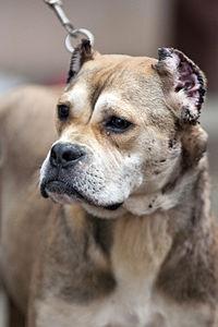 Dog Ear Cropping Styles