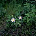 Alberta Wild Rose (25403373483).jpg