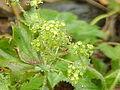 Alchemilla flabellata1.jpg