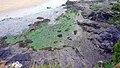 Algal bloom in the Laïta river.jpg