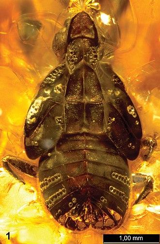 Rovno amber - Extinct hopper Alicodoxa rasnitsyni nymph