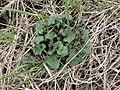 Alliaria petiolata SCA-110421-04.jpg