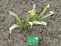 Allium rosenbachianum - Copenhagen Botanical Garden - DSC07672.JPG