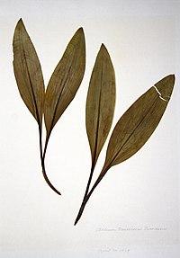 Allium tricoccum var. tricoccum BW-1979-0430-0404.jpg