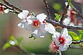 Almond blossoms - Flickr - Monkeystyle3000.jpg
