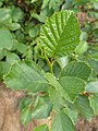 Alnus viridis kz03.jpg