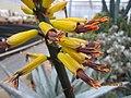 Aloe (4509111208).jpg