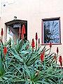 Aloe arborescens 2.jpg