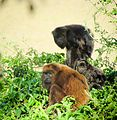 Alouatta guariba clamitans Male and Females.jpg