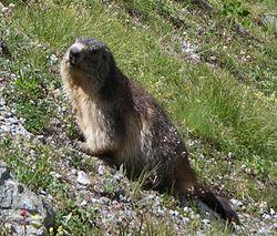 definition of marmot