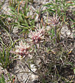 Alpine paintbrush Castilleja nana dark form.jpg