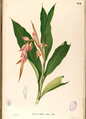 Alpinia sp Blanco2.464-original.png