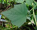Althaea officinalis, Marshmallow leaf.jpg