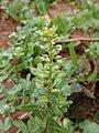 Alyssum simplex kz11.jpg