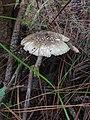 Amanita griseoverrucosa 450870.jpg