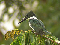 Amazon Kingfisher - female