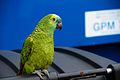 Amazona aestiva -pet-8a.jpg
