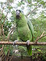 Amazona farinosa -on branch-8a.jpg