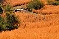 Amber Field - panoramio.jpg