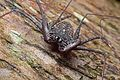 Amblypygi, El Yunque National Forest, Puerto Rico by Geoff Gallice - 003.jpg