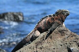 Marine iguana species of reptile