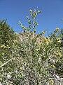 Ambrosia eriocentra 1.jpg