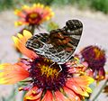 American Painted Lady - Vanessa virginensis. u-s - Flickr - gailhampshire.jpg