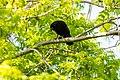 American crow (40896666114).jpg