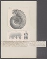 Ammonites polygyratus - - Print - Iconographia Zoologica - Special Collections University of Amsterdam - UBAINV0274 091 01 0050.tif