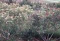 Amorpha fruticosa flowering.jpg