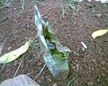 Amorphophallus paeoniifolius Farmingage097.jpg