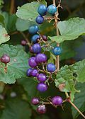 Ampelopsis glandulosa var. brevipedunculata - Blue and Purple Berries 2000px.jpg
