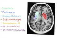 File:Anatomy of the Basal Ganglia.ogv