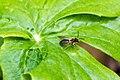 Andrena sp. (41017473432).jpg