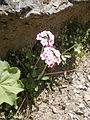 Androsace dasyphylla 01.jpg