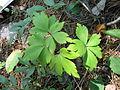 Anemone quinquefolia 4-eheep (5097812066).jpg