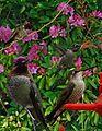 Annas Hummingbird from The Crossley ID Guide Eastern Birds.jpg