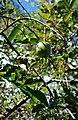 Annona glabra-Florida.jpg