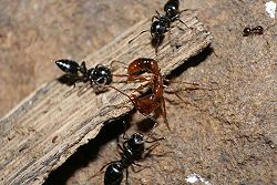 Anochetus attacked bởi three Crematogaster ants in Spain